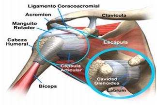 Tendones manguito vision anterior hombro derecho